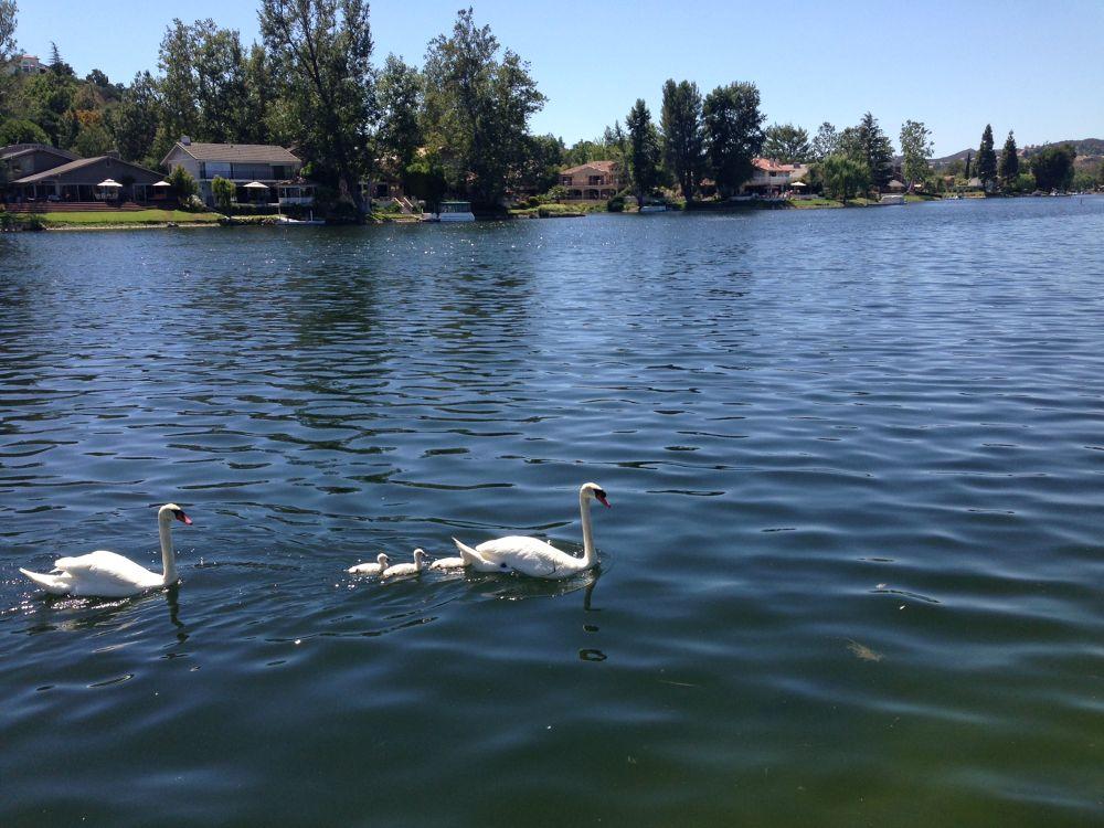 Photo in Nature #swans westlake lake westlak