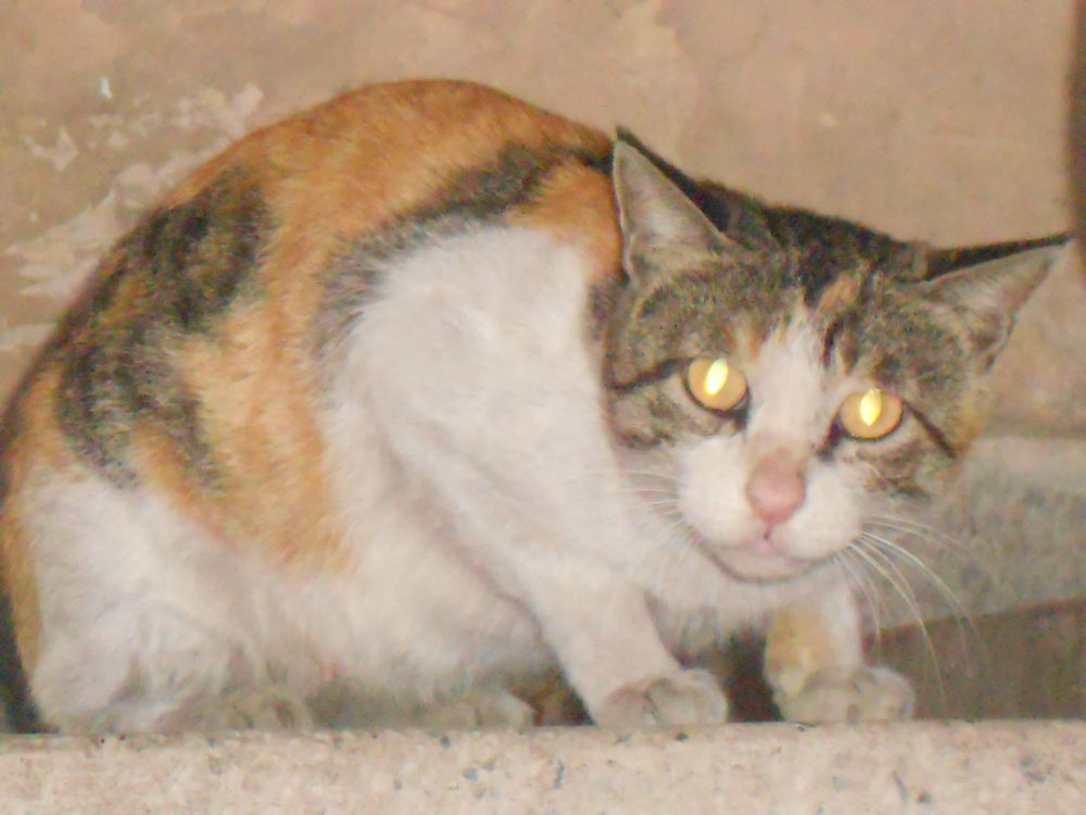 Photo in Animal #cat #angry #delhi