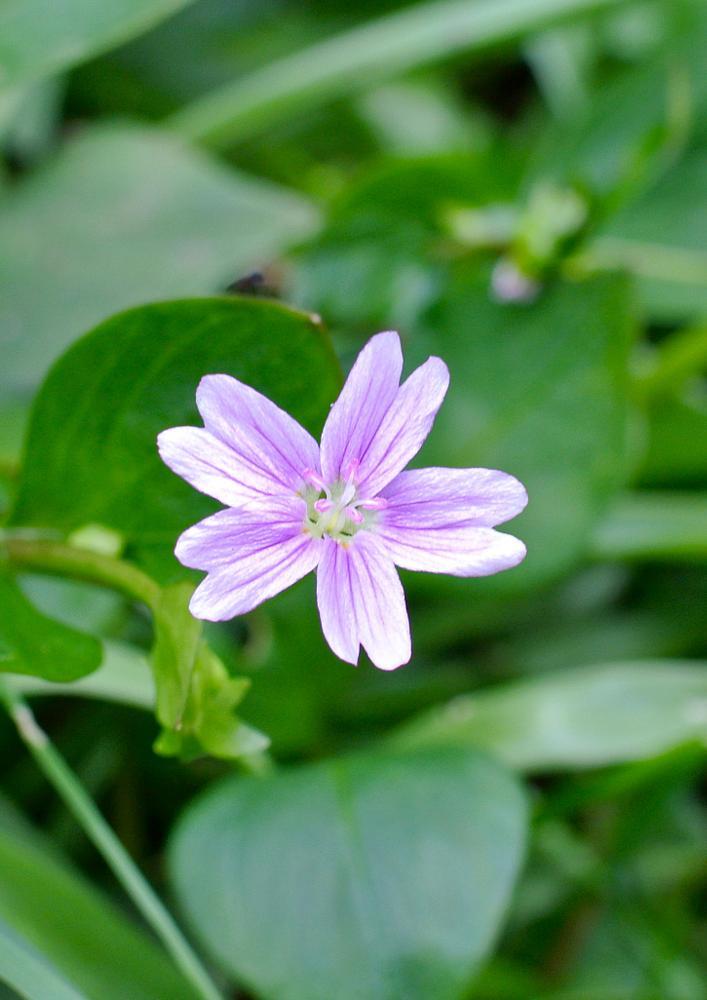 Photo in Nature #purple #delicate #flower #scotland