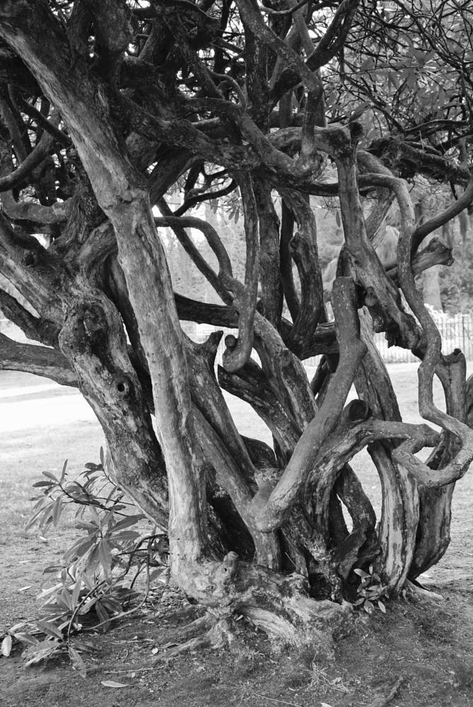 Photo in Nature #twisted #tree #black and white