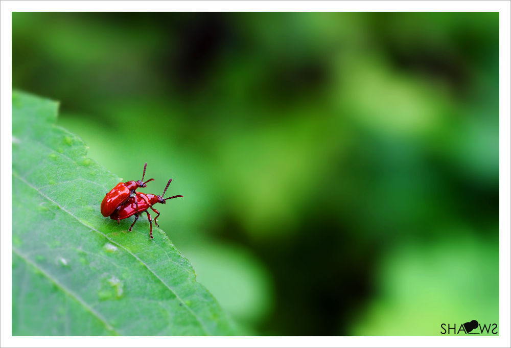 Photo in Macro #macro #love #love at edge #insects #nature #edge #green #red #pair #couple