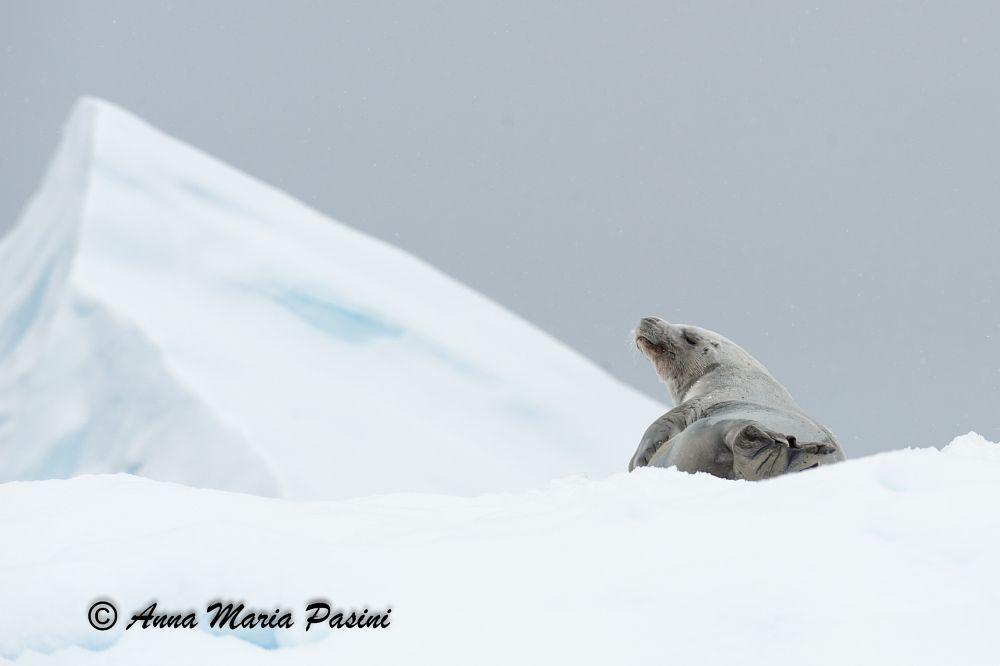 Photo in Animal #seal #antarctica #ice