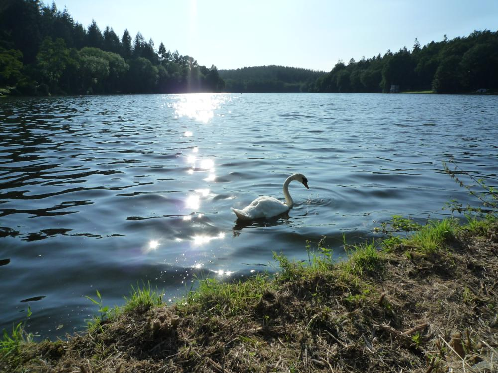 Photo in Landscape #swan #water #sunny day