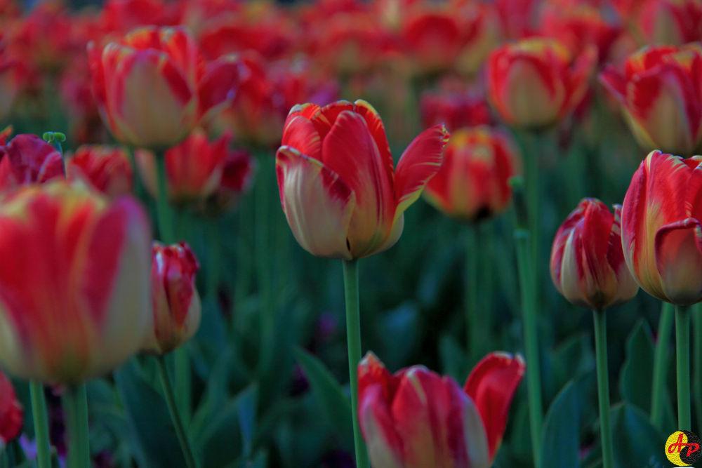 Photo in Random #tulips