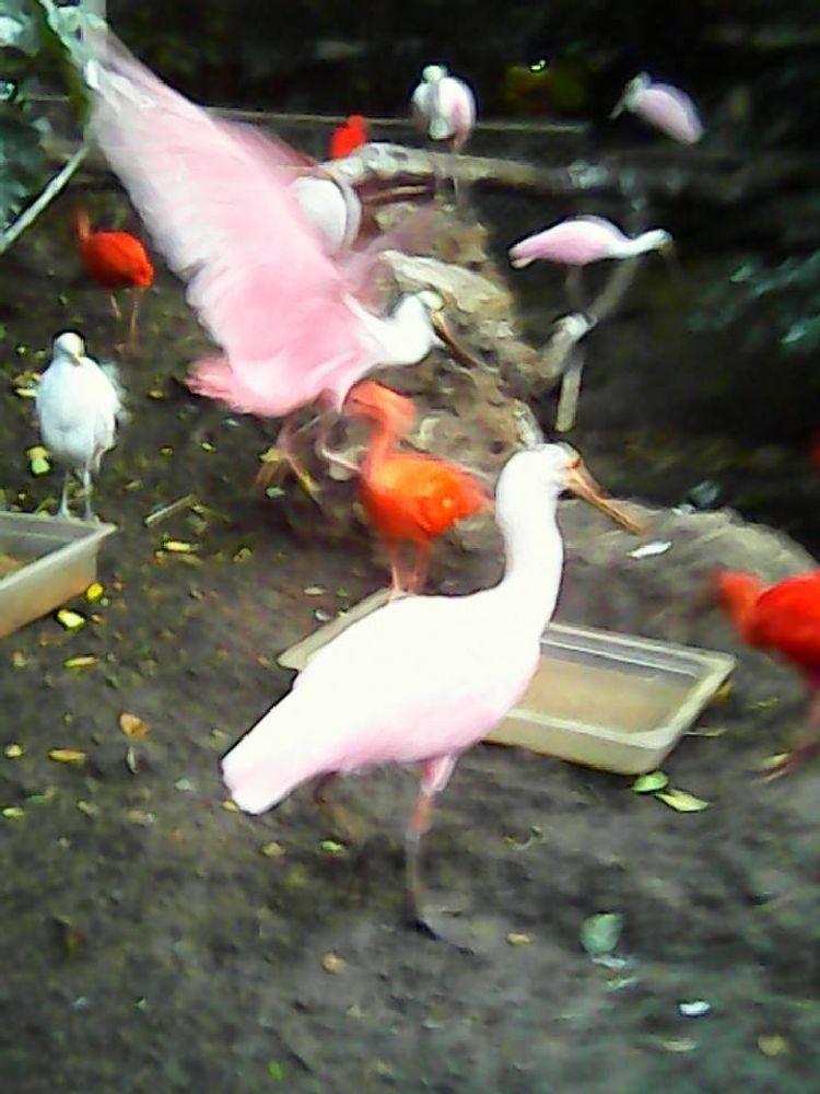 Photo in Animal #bird #rainforest #zoo #flight #pink #action #beauty