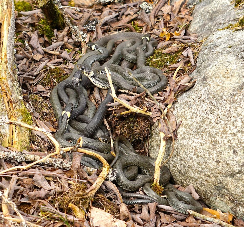 Photo in Animal #snakes #öby kulle #örebro #sweden #snokar