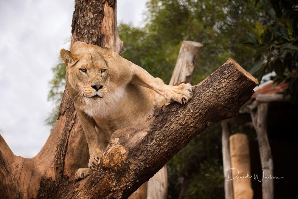 Photo in Animal #african lion #lion #nairibi #zoo #big cat