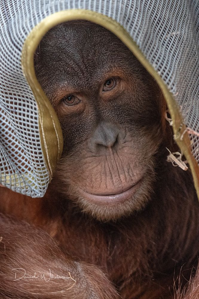 Photo in Animal #sumatranorangutan #orangutan #endangered #zoo