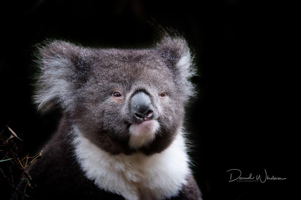 Photo in Animal #koala #australia #marsupial #victoria