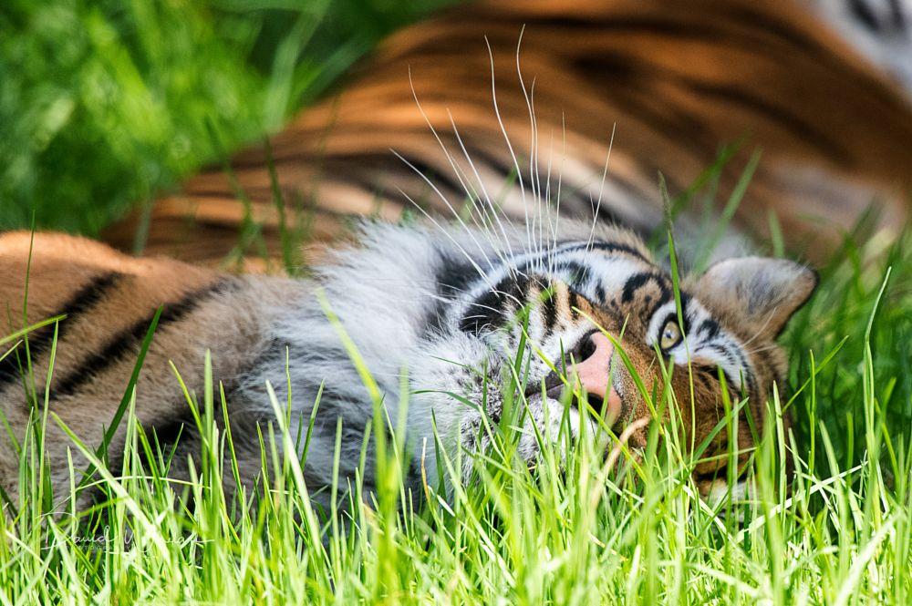 Photo in Animal #sumatran tiger #tiger #zoo #big cat #endangered