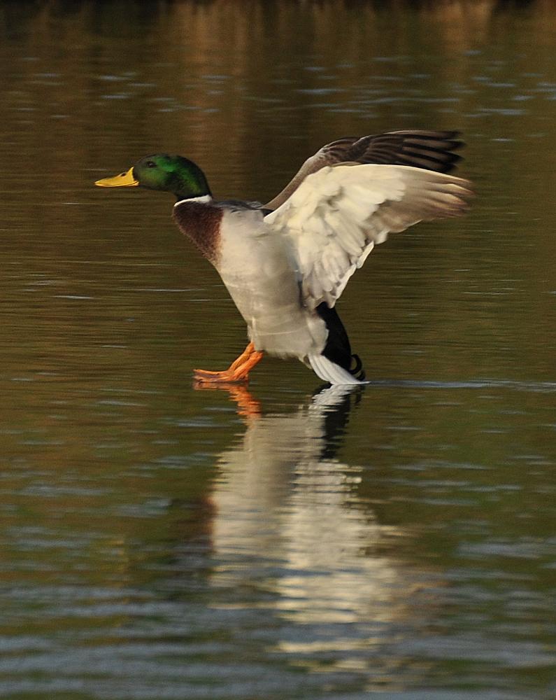 Photo in Animal #drake #male #duck #landing #water #reflection #lake #bird #nature #outdoor