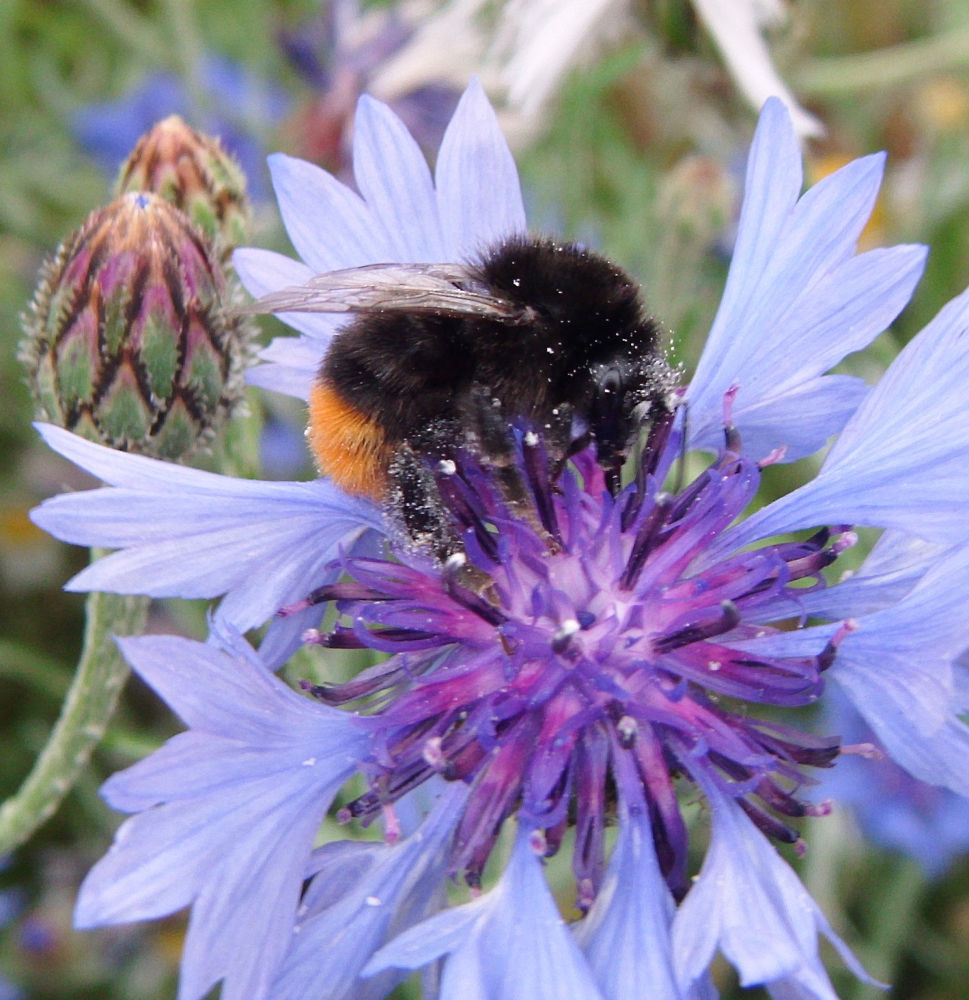 Photo in Nature #macro #bees #buff-tailed bumblebee #nature #flowers #cornflower #longley rd rochester