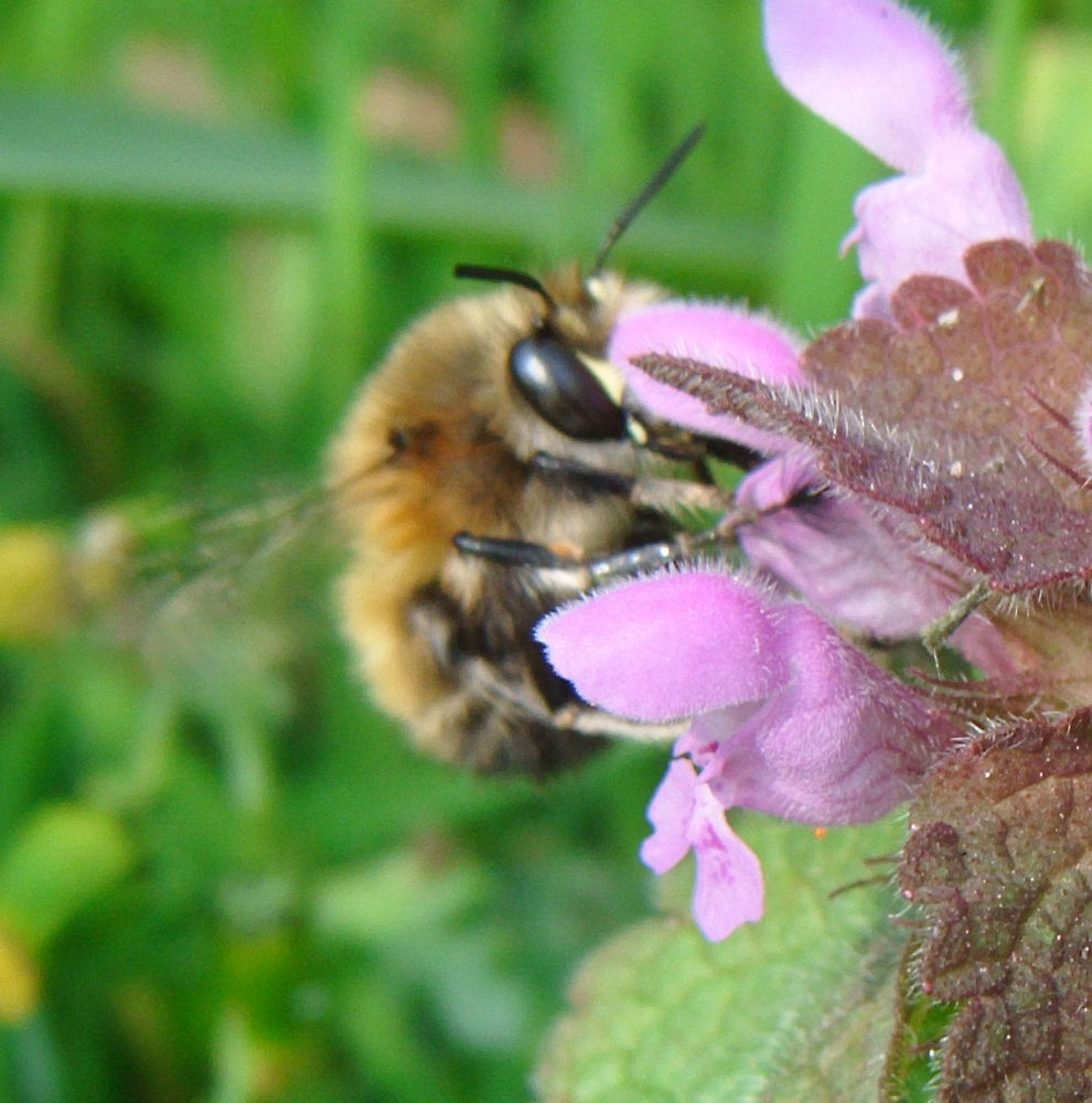Photo in Nature #nature #bees #macro #rochester cathedral gardens