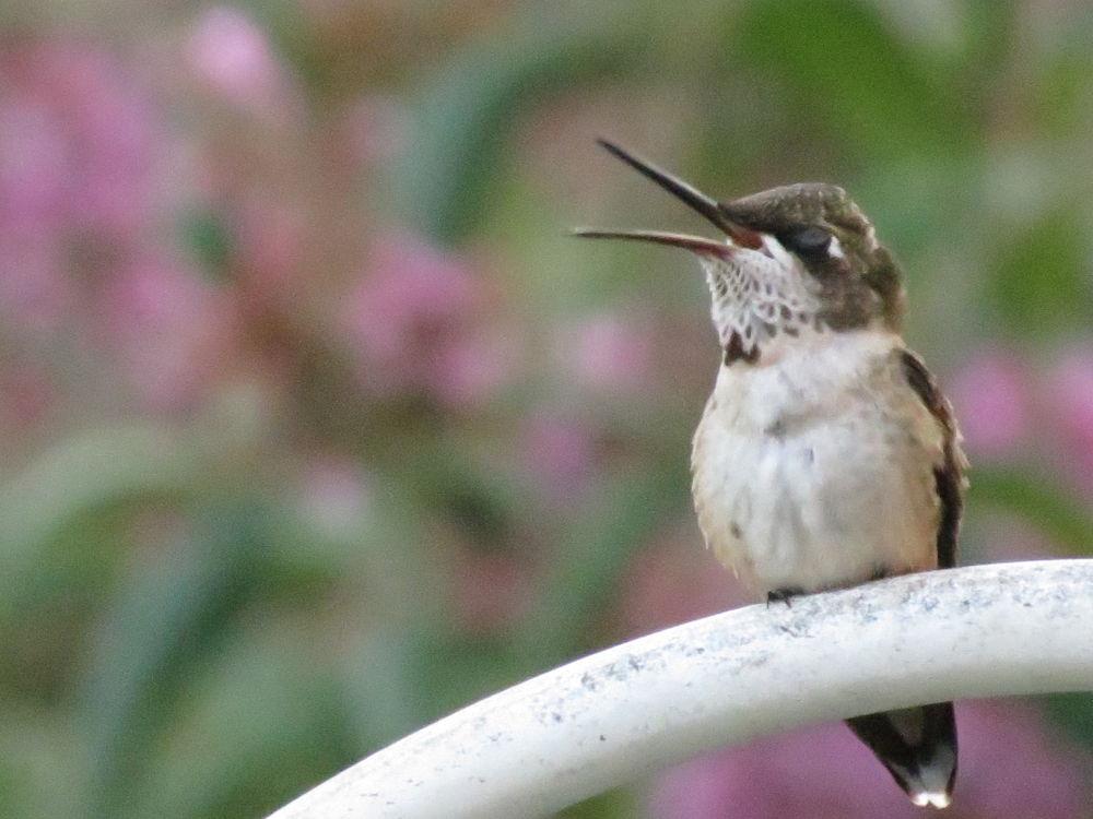 Photo in Random #birds #hummingbirds #ruby-throated hummingbird