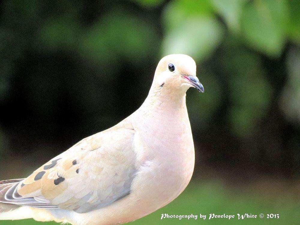 Photo in Random #birds #mourning dove