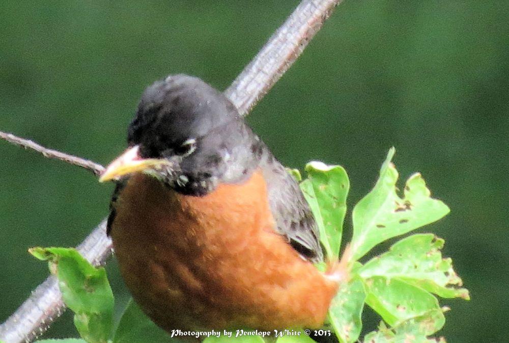 Photo in Random #birds #american robin