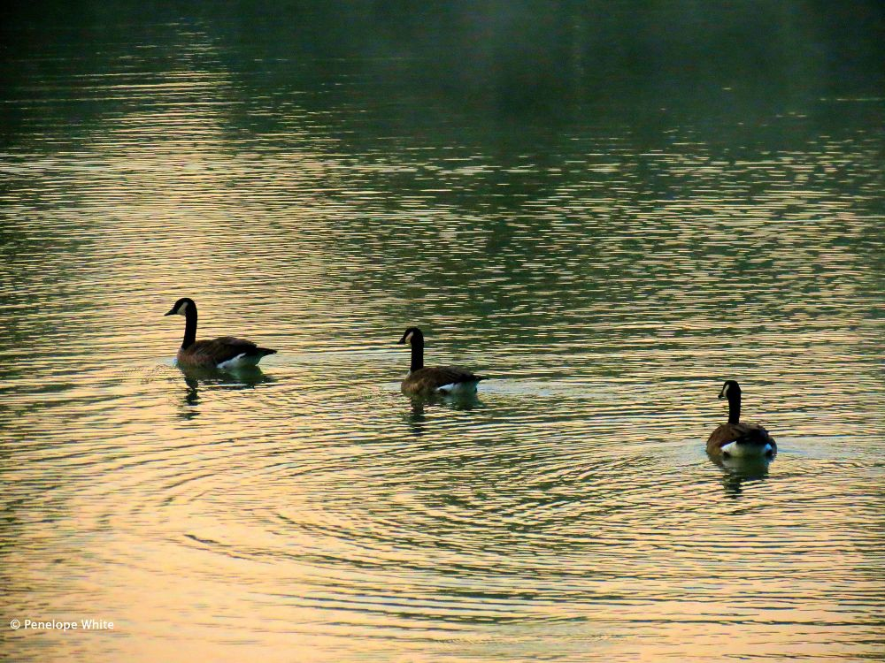 Photo in Nature #canada geese #the pond #nature
