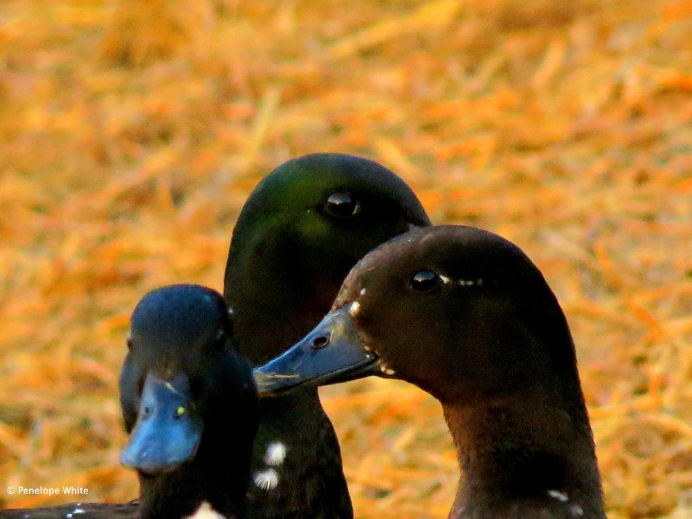 Photo in Random #ducks #the meadow #sunrise