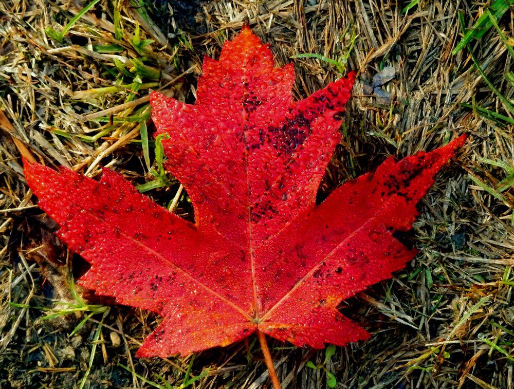 Photo in Macro #macro #maple leaf