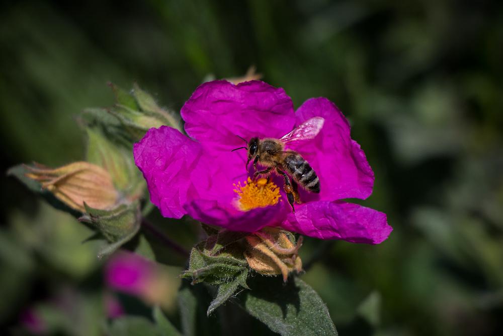 Photo in Animal #bee #harvesting #pollen #flower #purple #zoo
