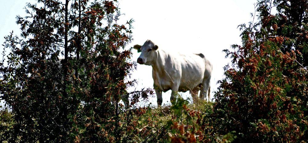 Photo in Random #rural #cow #trees