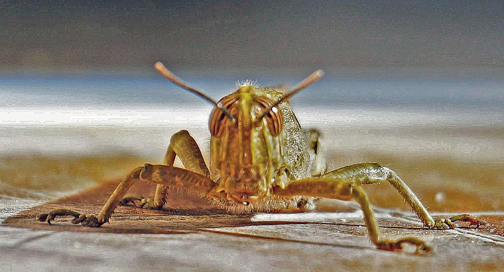 Photo in Animal #alien #gresshoppe #dyr #animal