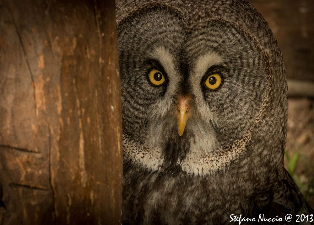 Photo in Animal #ypa2013 #lapponia #rapace #raptor #italy #gufo #dark #yellow #owl #animals
