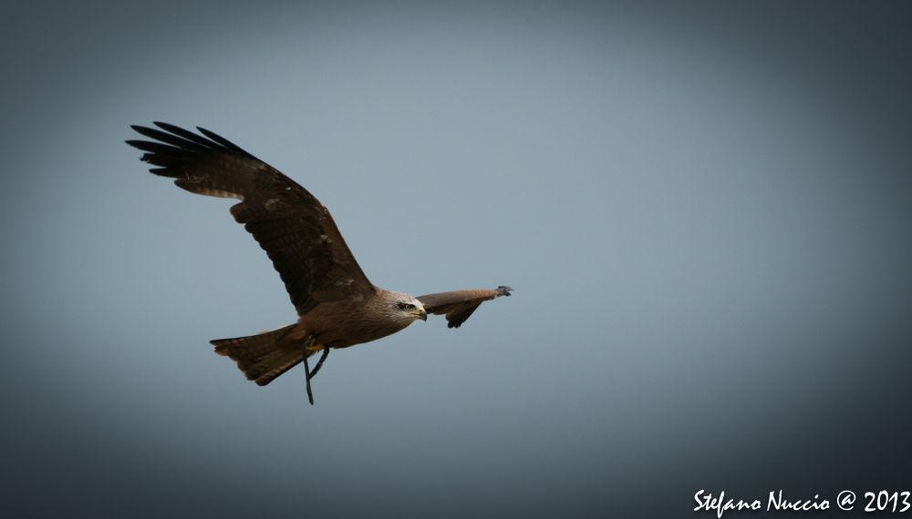 Photo in Animal #ypa2013 #falcon #falco #poiana #animal #italy #raptor #rapace #sky #blu #blue