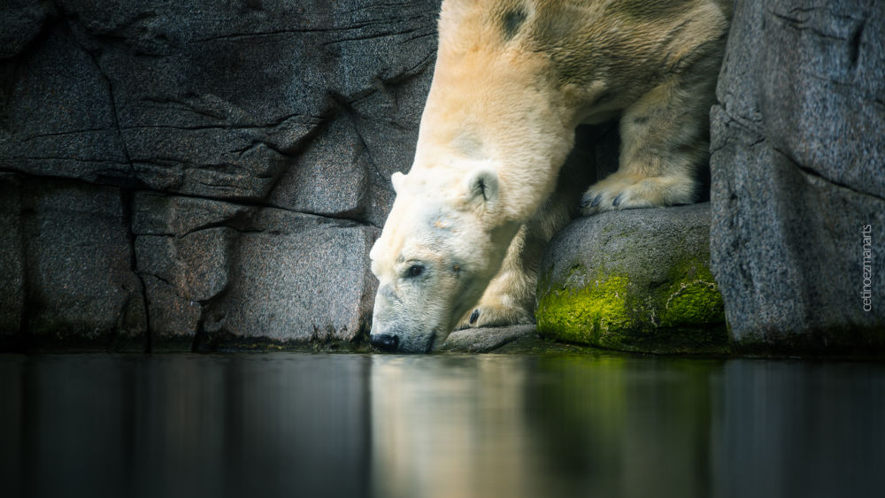 Photo in Animal #ypa2013 #ice #bear #canada #fresh #cold #drink #icebear #sweet #rock #polar #relax #strong #big #power