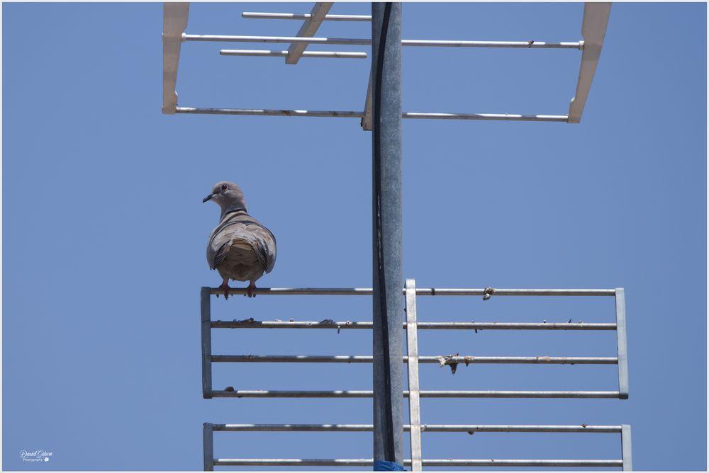 Photo in Nature #bird #perch #antenna #wildlife #nature #nikon #nikonz6