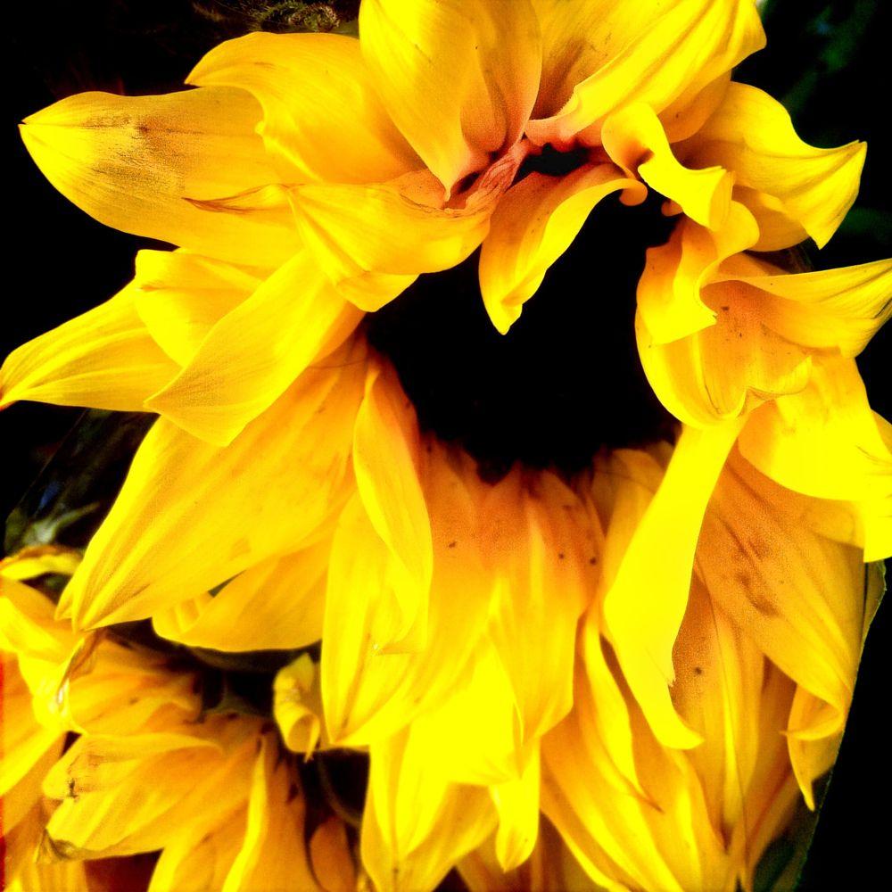 Photo in Nature #yellow #sunflower #macro