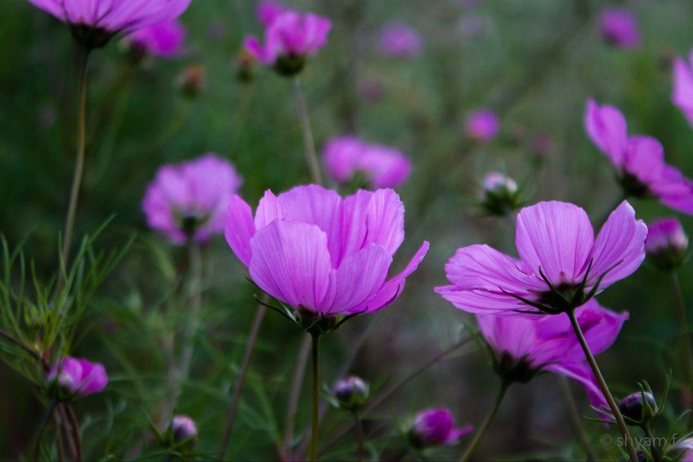 Photo in Nature #sri lanka #flower #nature #srilanka