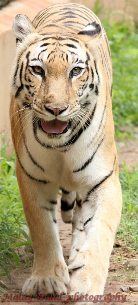 Photo in Animal #tiger ........................