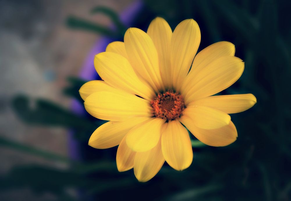 Photo in Random #flower #daisy #yellow #flower in a pot #close up