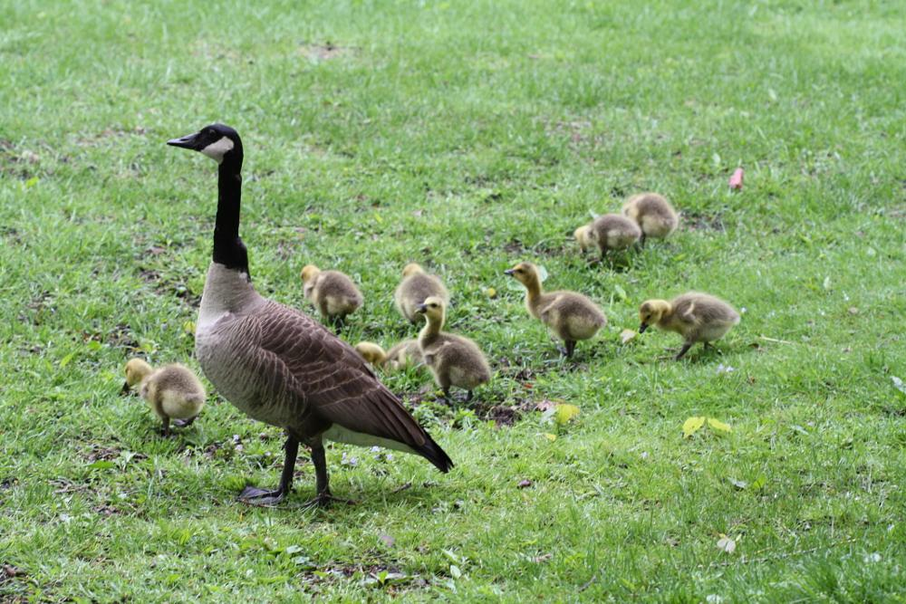 Photo in Animal #geese #babys #park