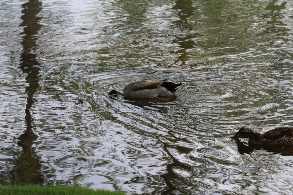 Photo in Landscape #ducks #water #park