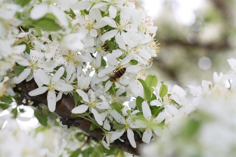 Photo in Animal #bee #pollenating #animal #macro