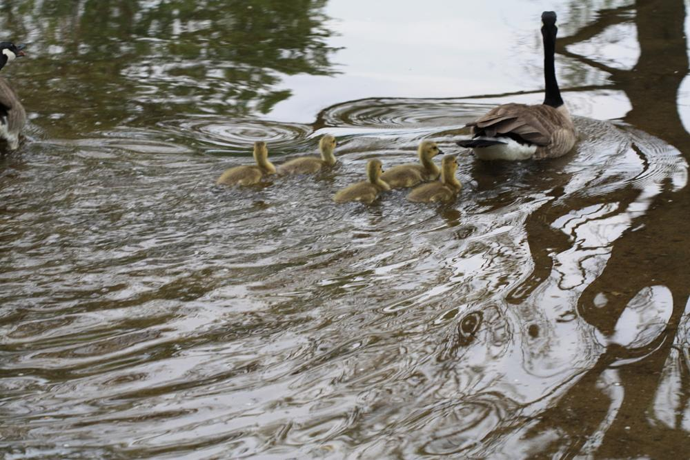 Photo in Animal #ducks #babys #swimming