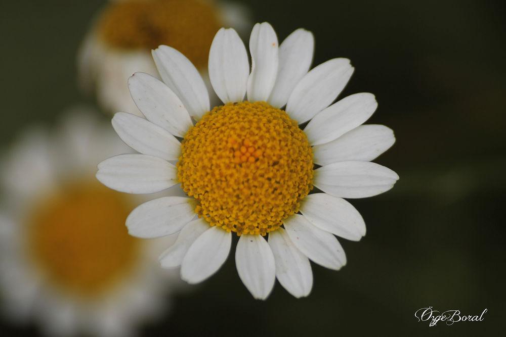Photo in Macro #daisy #papatya #macro #makro #doğa #nature