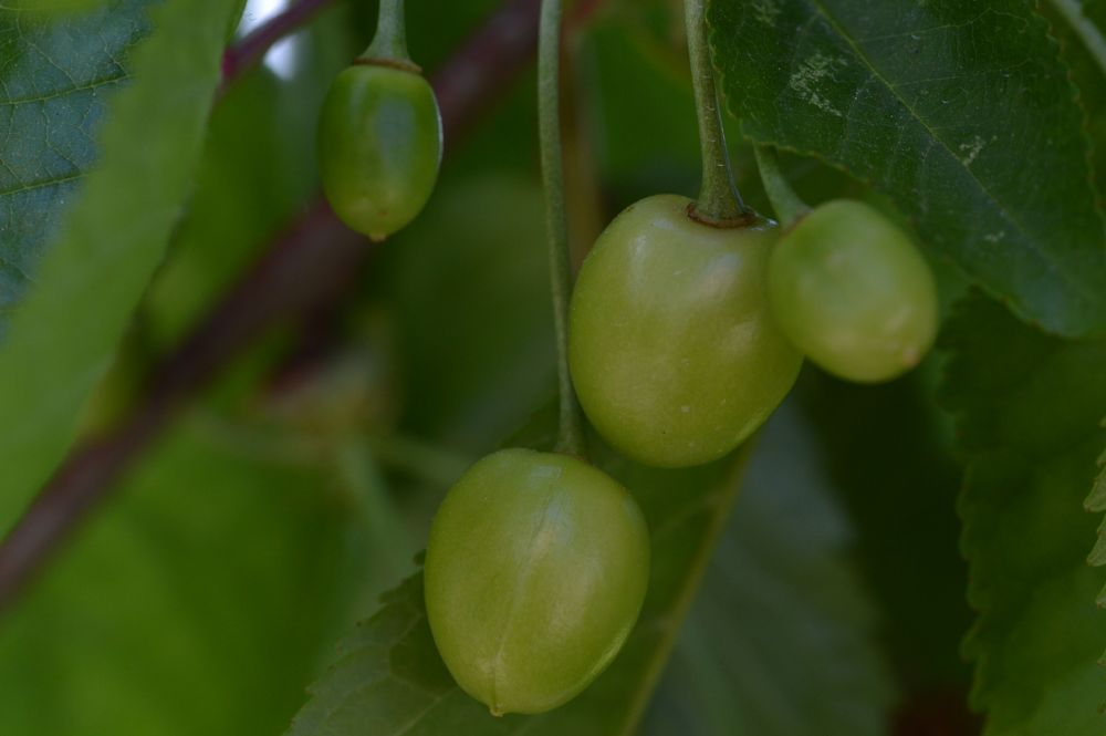 Photo in Macro #fruit #cherries #sprint #nature #orchard