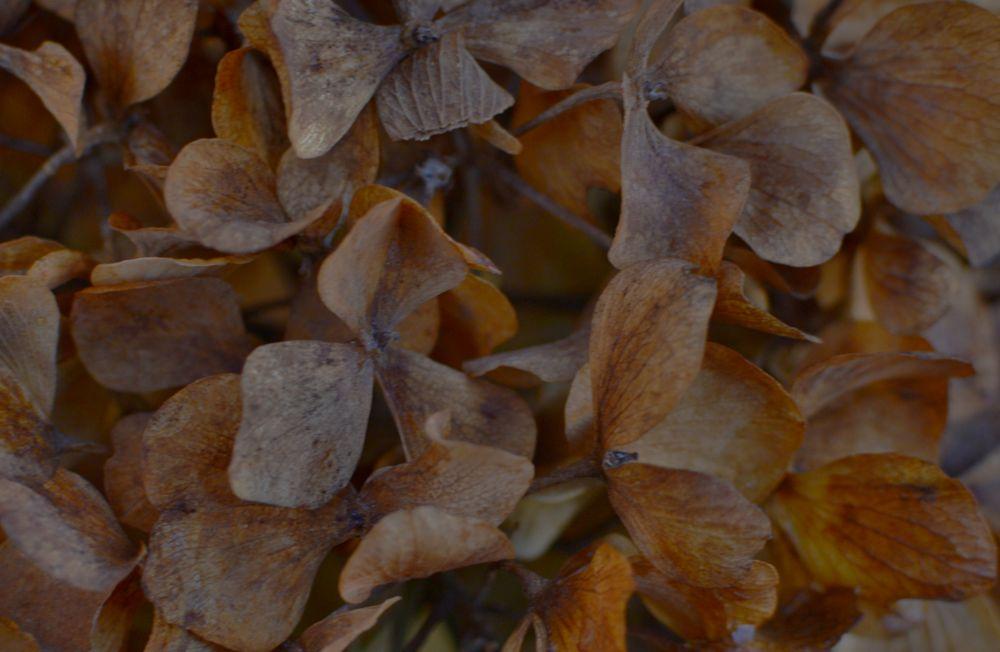 Photo in Macro #nature #garden #flowers #petals #winter #hydrangea