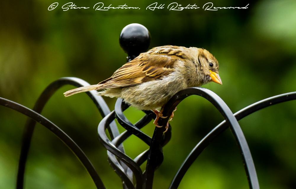Photo in Animal #sparrow #bird #garden #worthing #nikon #tayuk