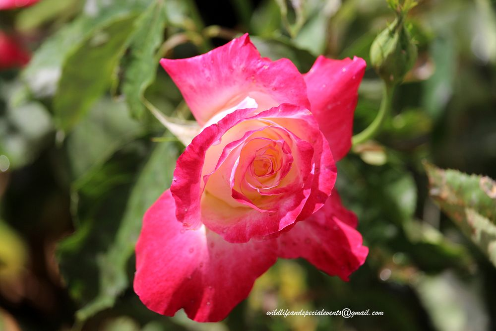 Photo in Macro #flower #rose #flora #garden