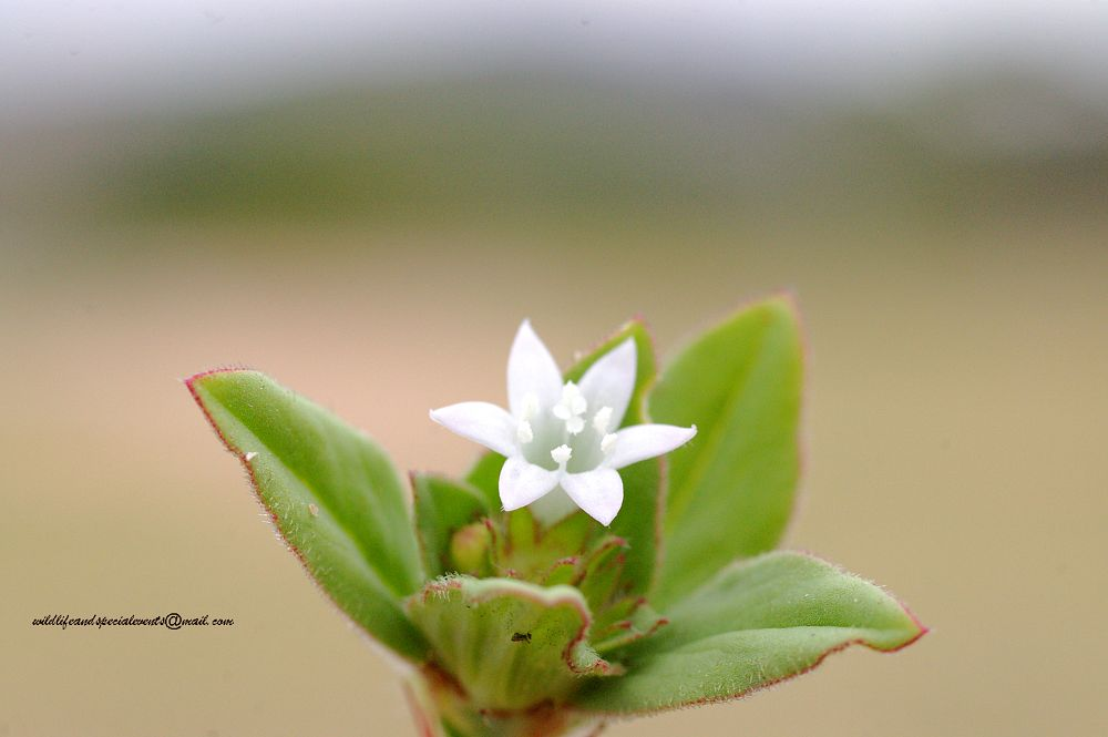 Photo in Macro #wildflower #macro #flora #knp #africa #kruger park