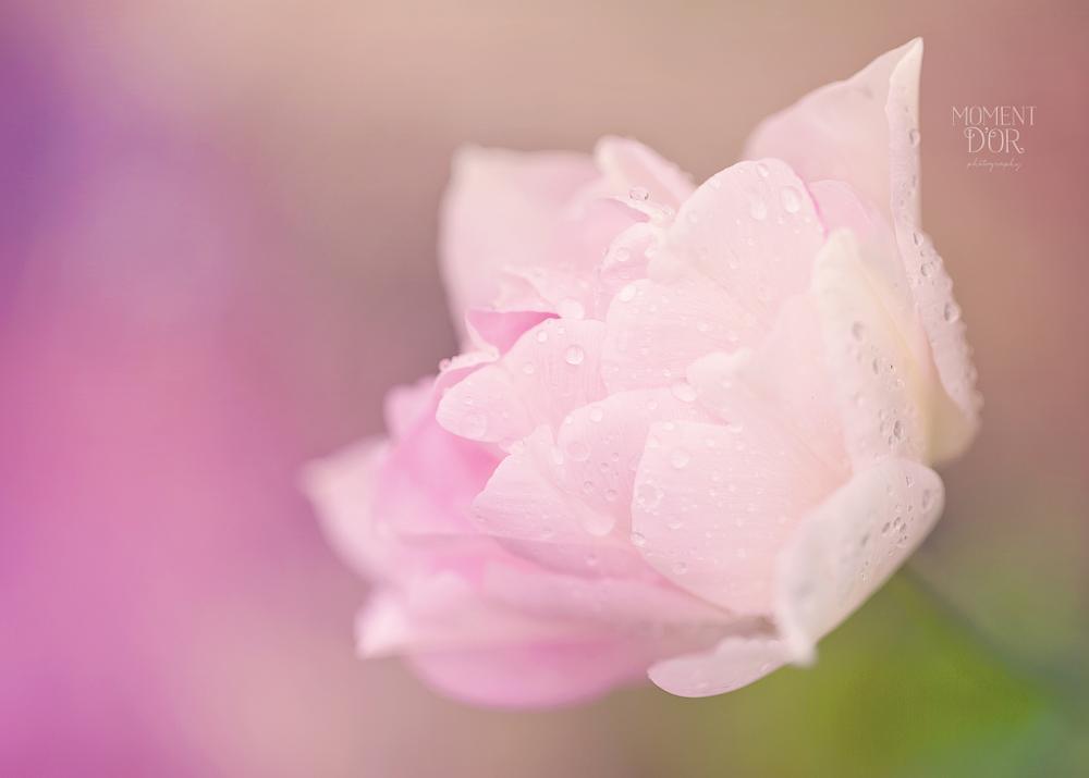 Photo in Macro #pink tulip rain