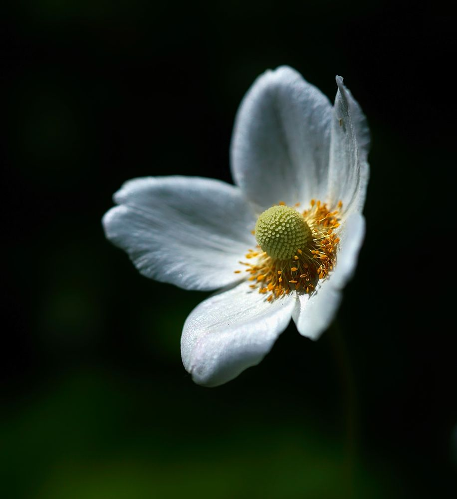 Photo in Nature #flowers #nature #anemone