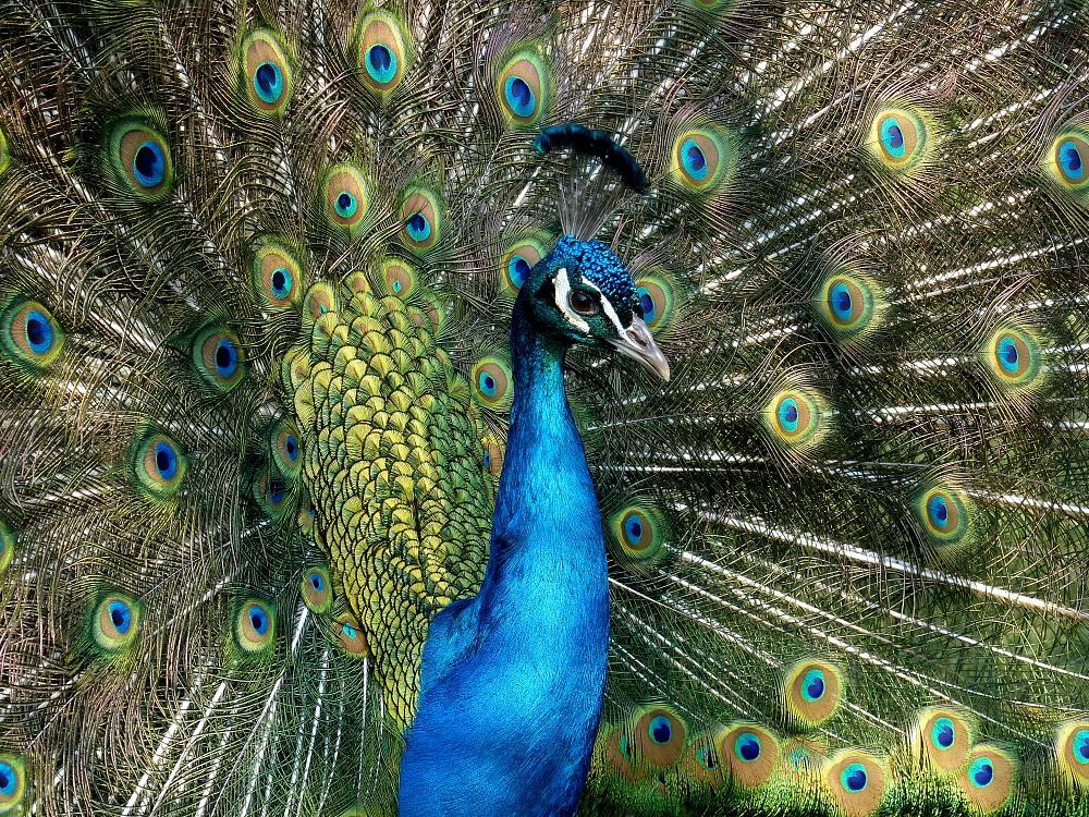 Photo in Nature #natur #vögel #pfauen