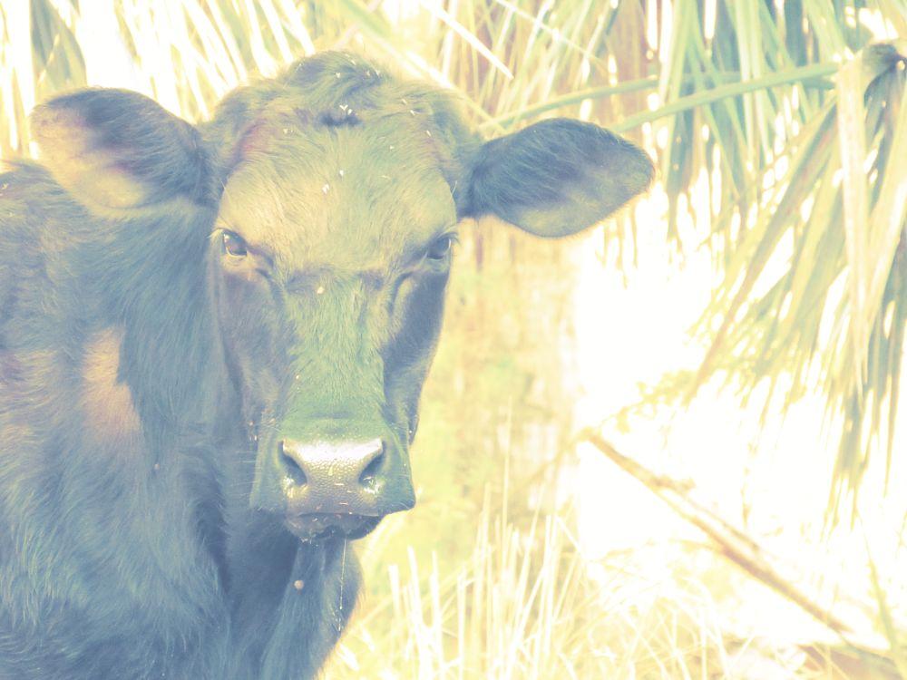Photo in Nature #bull #saying #personified #caracara prairie #c.r.e.w. #cypress dome trails #everglades #florida #igotone.com