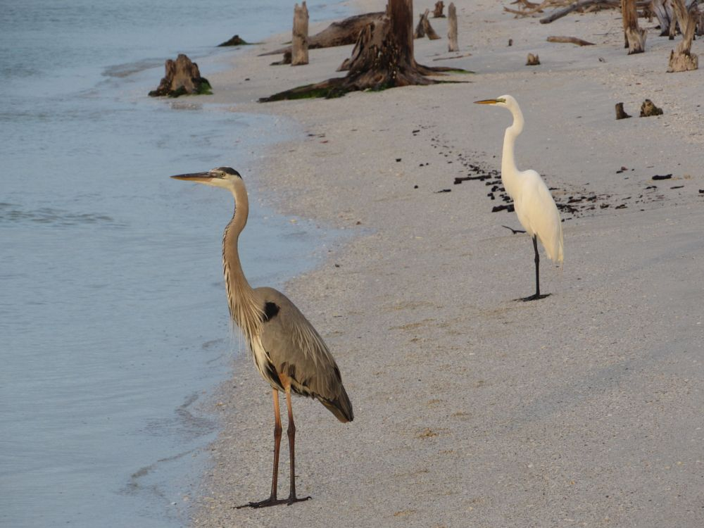 Photo in Nature #great heron #great egret #florida #state park #lovers key #igotone.com