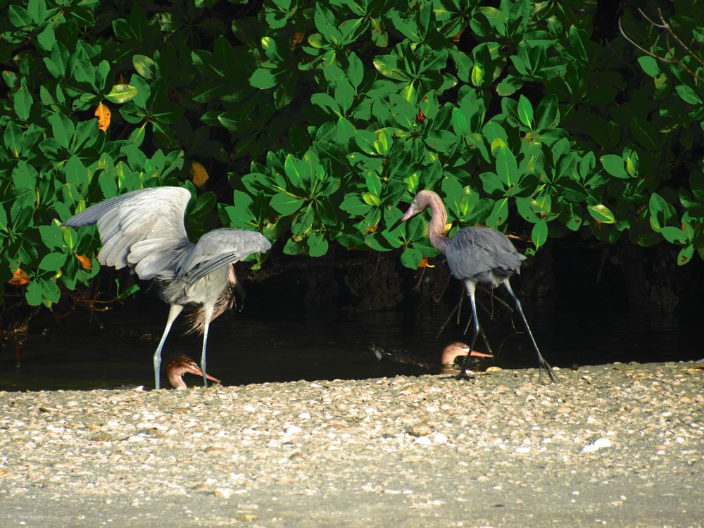 Photo in Nature #reddish egrets #florida #state park #lovers key